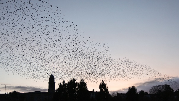 Starlings over Bridgnorth